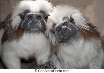 Cotton Top Tamarins - Cotton top tamarin in a zoo enclosure
