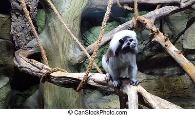 Cotton Top Tartar sits on branch in the monkey
