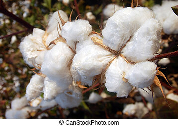 Cotton Tree - Close-up of a natural cotton plant in a field.