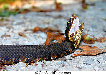 Cottonmouth Snake Illinois