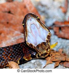 Cottonmouth Snake Illinois