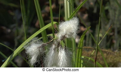 cottonsedge swaying in the wind closeup