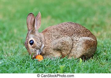 Cottontail bunny rabbit