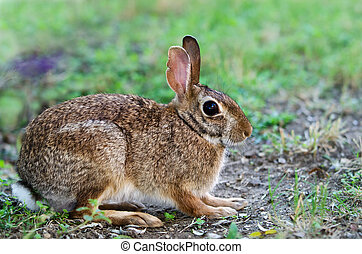Cottontail bunny rabbit in the garden