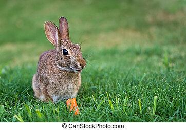 cottontail, conejo conejito