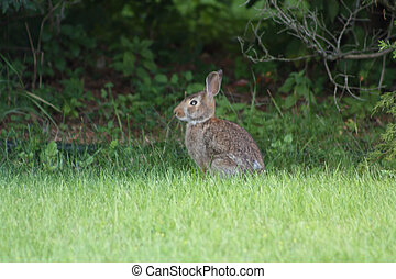Cottontail, Eastern - Located in a sub-division of a small...