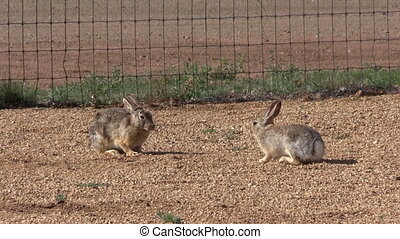 a pair of cottontail rabbits face off then run away