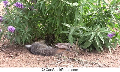 a cottontail rabbit hiding under a bush