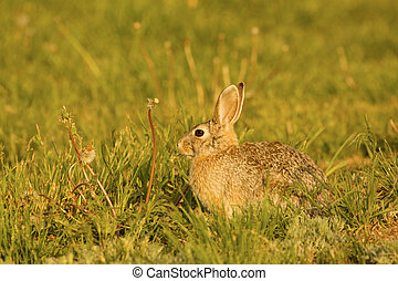 a cottontail rabbit in a backyard eating dandelions