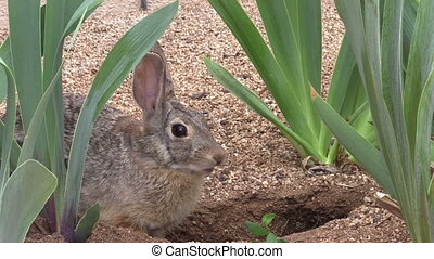 a cottontail rabbit next to its freshly dug den