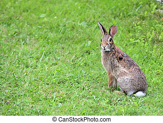 A Cottontail rabbit sitting on green grass.