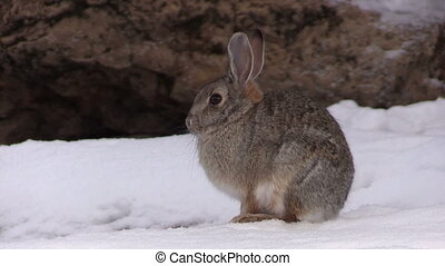a cute cottontail rabbit in the snow
