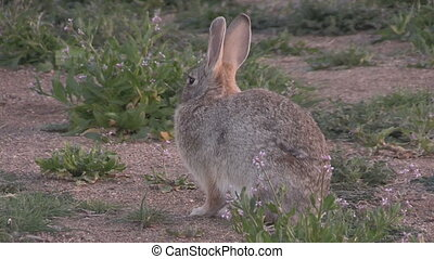 a cute cottontail rabbit resting