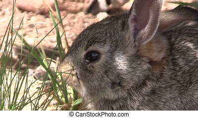 a cute cottontail rabbit
