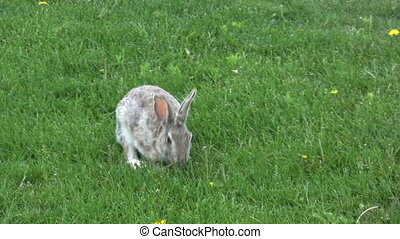 a cottontail rabbit feeding on green grass