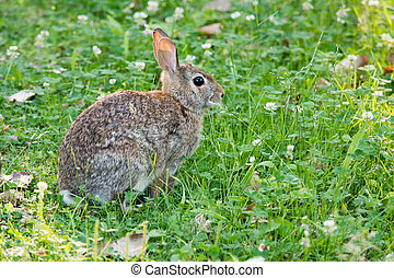 Cottontail Rabbit In The Clover
