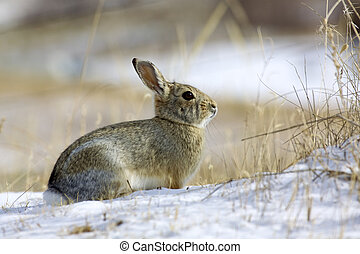 a cottontail rabbit in a snow covered field
