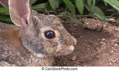 a close up of a cottontail rabbit hiding under a bush