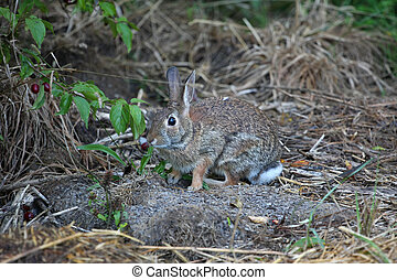 Cottontail Rabbit sylvilagus in early morning light
