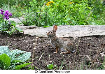 Cottontail Rabbit - Sylvilagus in garden in morning light