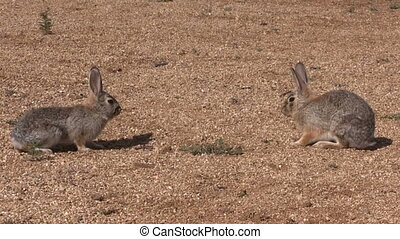 a pair of cottontail rabbits facing off