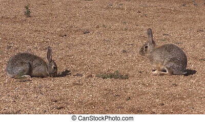 a pair of cottontail rabbits facing off for dominance