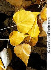 Cottonwood Leaves in Stream