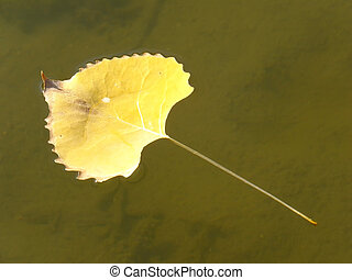 Cottonwood tree leaf floating in clear water