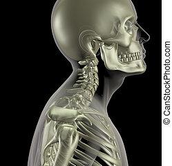 cou, haut, os, fin, mâle, squelette