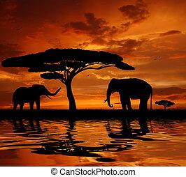 coucher soleil, éléphants