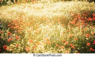 coucher soleil, été, fleurs, sauvage, champ