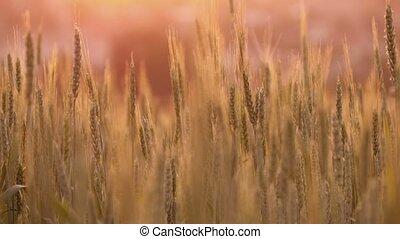 coucher soleil, blé, spikelets
