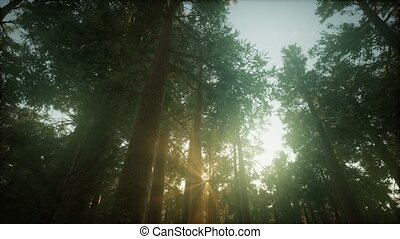 coucher soleil, brumeux, forêt, séquoia, paysage