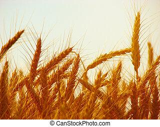 coucher soleil, champ blé