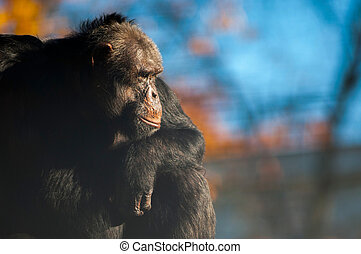 coucher soleil, chimpanzé