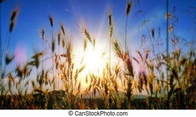 coucher soleil, classé, 4k, herbe