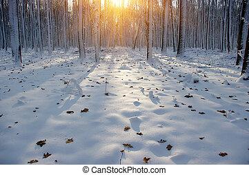 coucher soleil, dans, hiver, forêt