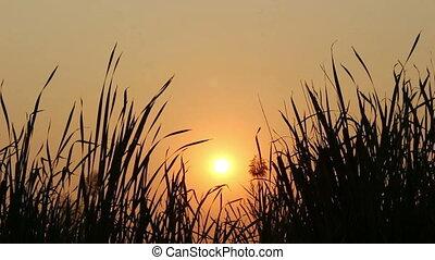coucher soleil, fleur, silhouette, herbe, fond
