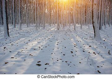 Coucher soleil, forêt, hiver