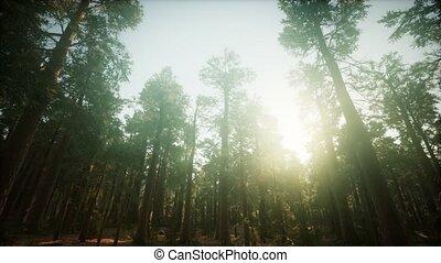 coucher soleil, forêt séquoia, brumeux, paysage