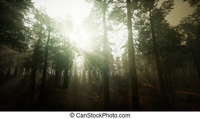 coucher soleil, forêt séquoia, paysage, brumeux