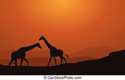coucher soleil, girafe, silhouette, fond
