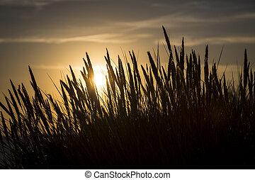 coucher soleil, herbe, silhouette, marram