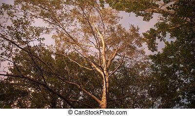 coucher soleil, métrage, arbres, peuplier, pendant, ...