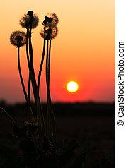coucher soleil, pissenlit