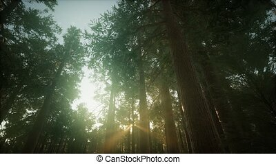 coucher soleil, séquoia, brumeux, forêt, paysage