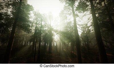 coucher soleil, séquoia, paysage, forêt, brumeux