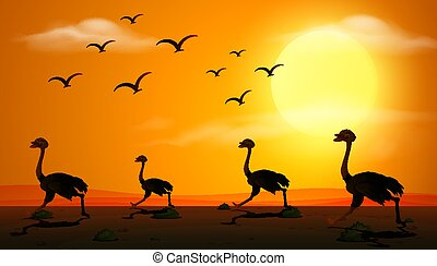 coucher soleil, silhouette, scène, autruche, courant