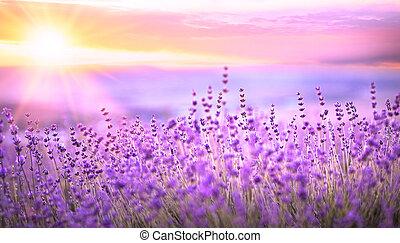 coucher soleil, sur, a, lavande, field.