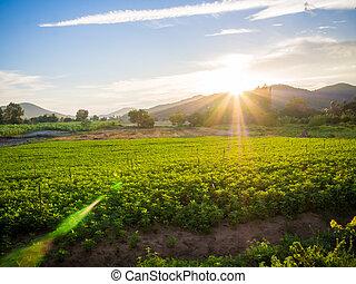 coucher soleil, sur, a, vert, champs